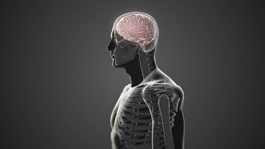 Digital animation of Revolving body with visible brain and skeleton   Shutterstock HD Video #10034843