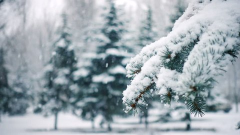 snow falling at the fir trees branches