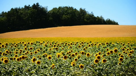 Sunflower field, Provence, France, Europe