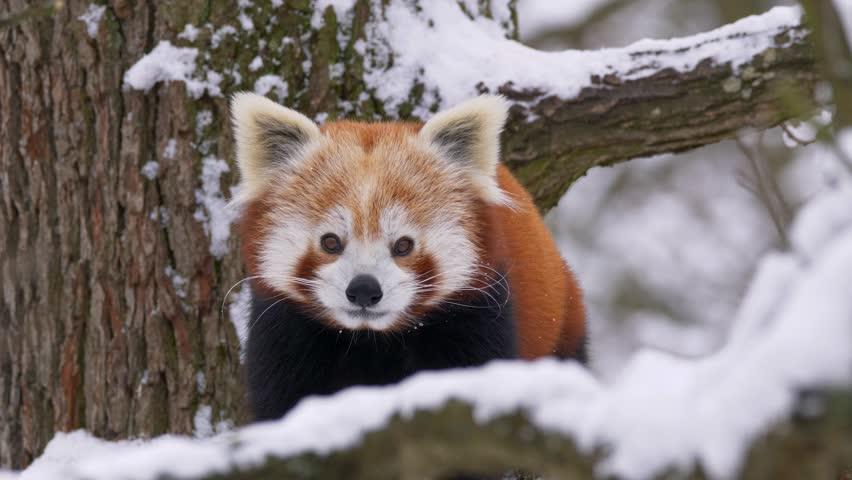Red panda (Ailurus fulgens) in the tree in winter