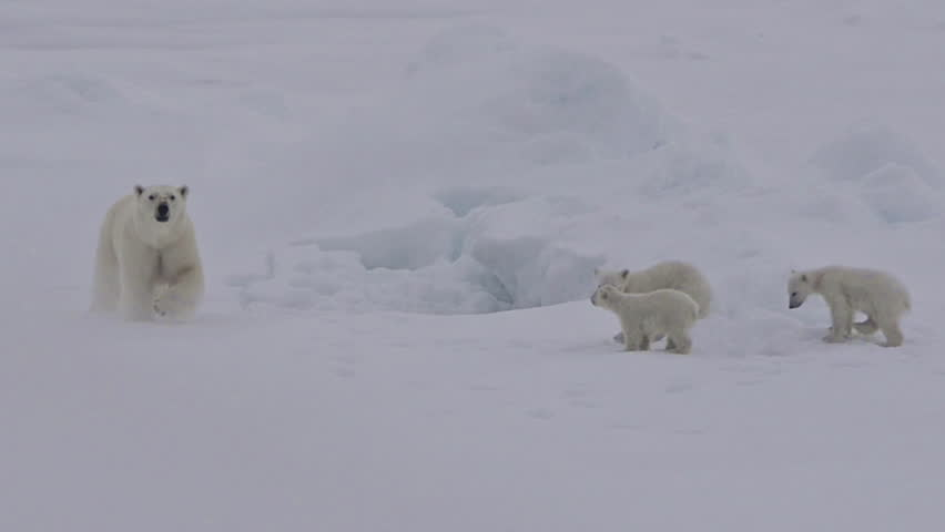 CIRCA 2010s - A polar bear and baby cubs struggle in on an ice floe as global warming affects sea ice levels.