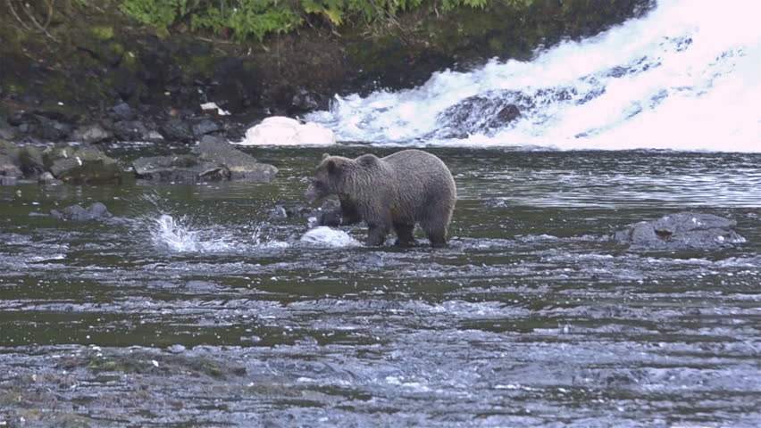 CIRCA 2010s - An Alaskan bear catches salmon in a river.