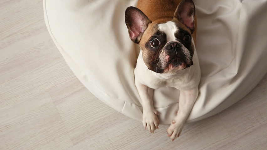 the dog barks. a displeased French bulldog barking at home on a white sunbed in a bright interior. #1006677313