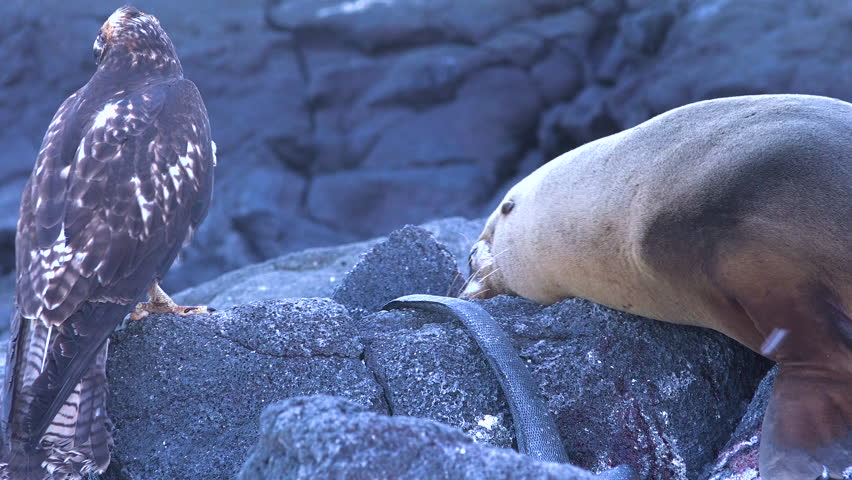 GALAPAGOS ISLANDS, ECUADOR - CIRCA 2010s - A sea lion and a hawk stand off over a dead iguana in the Galapagos Islands.