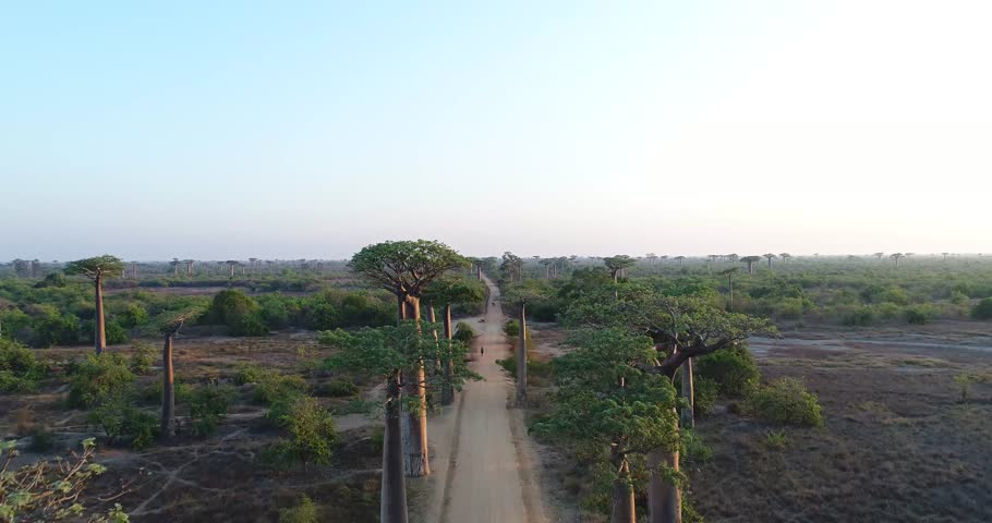 Beautiful Baobab trees in Madagascar, overhead aerial shot
