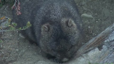 Common Wombat yawn and scratch back
