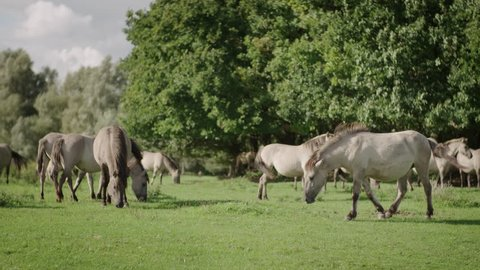A herd of wild konik horses are grazing in a field in Utrecht when suddenly one horse frightens and sprints shot in 50fps slowmotion