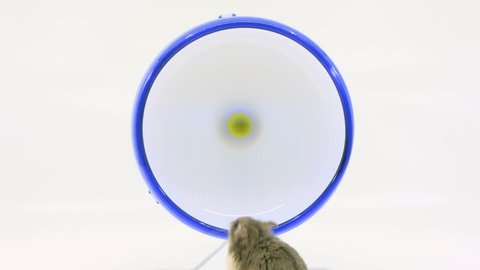 Grey hamster stands tall, sniffs around and runs on wheel then leaves on white background.