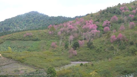 Royalty high quality free stock image of cherry blossom sakura (Prunus Cesacoides, Wild Himalayan Cherry) in springtime. Cherry blossom sakura (Prunus Cesacoides, Wild Himalayan Cherry) is very beauty