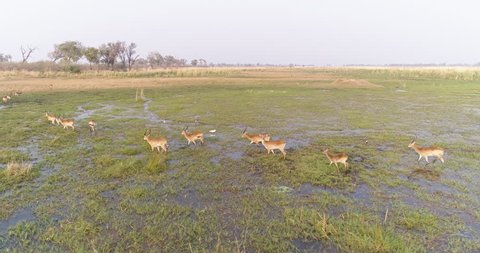 Aerial view of lechwe antelope herd walking through the water in the Okavango Delta,Botswana