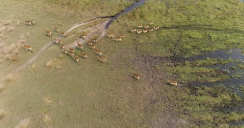 High aerial view of lechwe antelope herd in the swamps of the Okavango Delta,Botswana