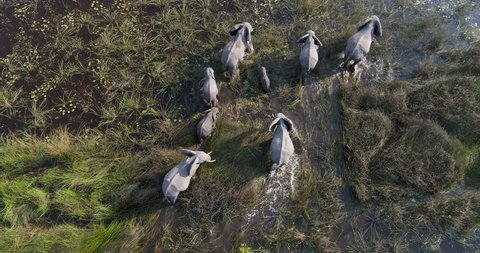 Close-up aerial view of a breeding herd of elephants walking in the marshy grasslands of the Okavango Delta, Botswana