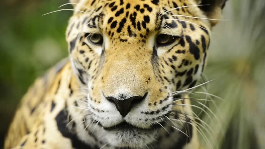 Beautiful Jaguar cat (Panthera Onca) in close up footage #1006977223