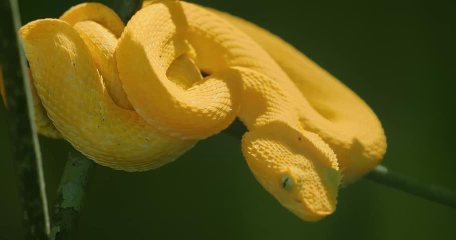 Yellow Eyelash Viper Costa Rica Stock Footage Video 100 Royalty