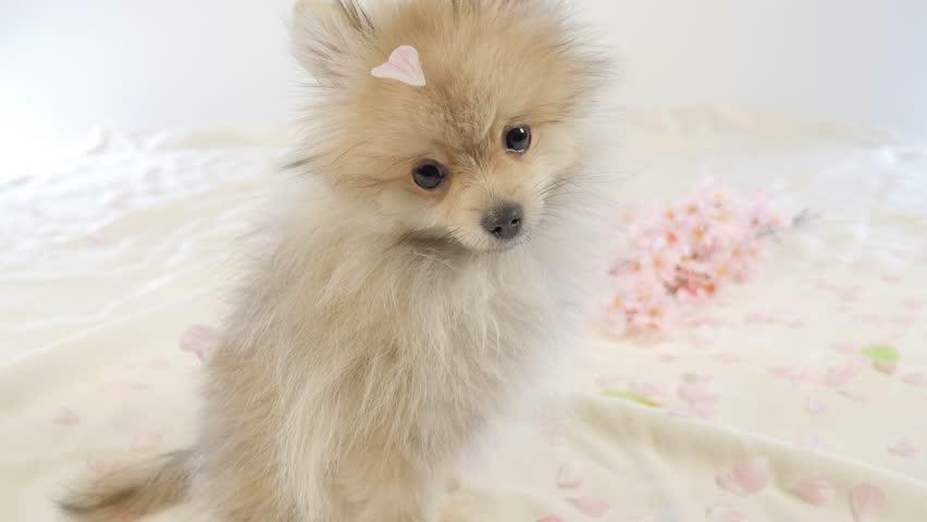 Cute Pomeranian Puppy Stock Footage Video 100 Royalty Free