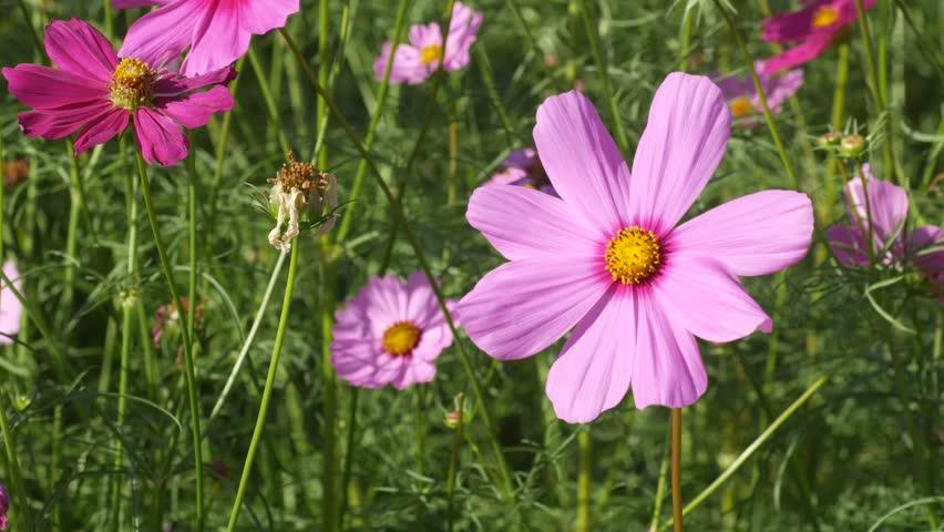 Pink cosmos flower shaking with wind in the flower garden | Shutterstock HD Video #1007017243