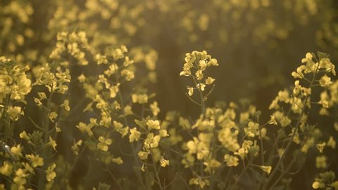 Canola Flowers Swaying In The Wind In The Summer Sun, In Slow Motion