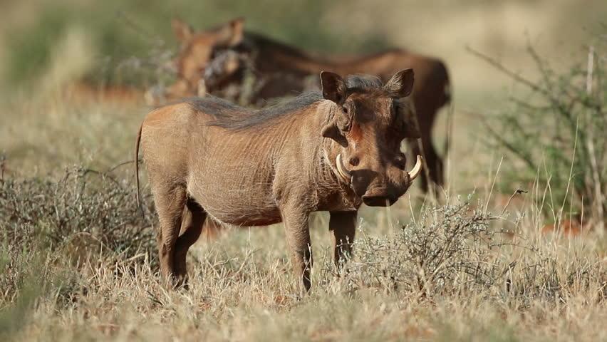 An alert warthog (Phacochoerus africanus) in natural habitat, South Africa