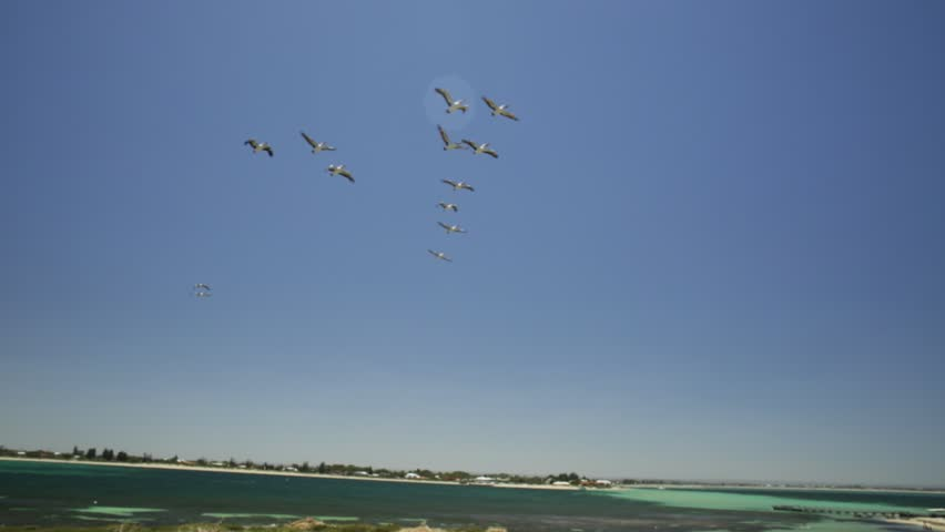 Group of pelicans flying in formation in blue sky over Penguin Island bird sanctuary in Rockingham, near Perth, Western Australia. Penguin Island is home to the largest bird colony of the WA.