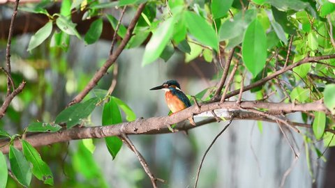 Common kingfisher also known as the Eurasian kingfisher, and river kingfisher, is a small kingfisher