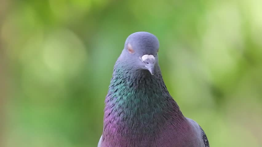 Close up of pigeon in the park  | Shutterstock HD Video #1007125543