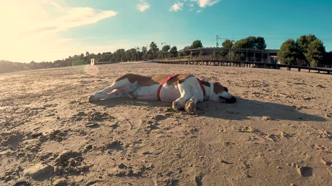 Basset hound dog sleeping on the beach is scared as the train passes