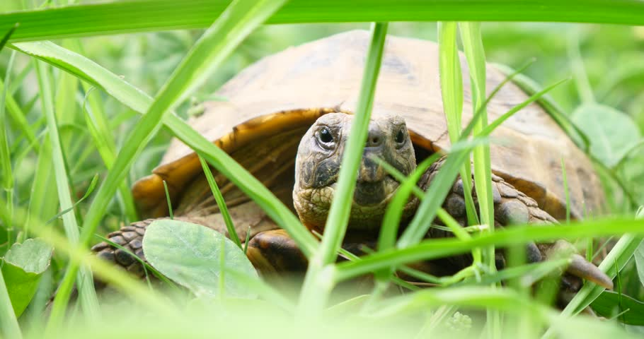 Tortoise turtle slowly moving through the scene on green grass walking slow looking at camera old ancient endangered tropical wildlife animal | Shutterstock HD Video #1007229703