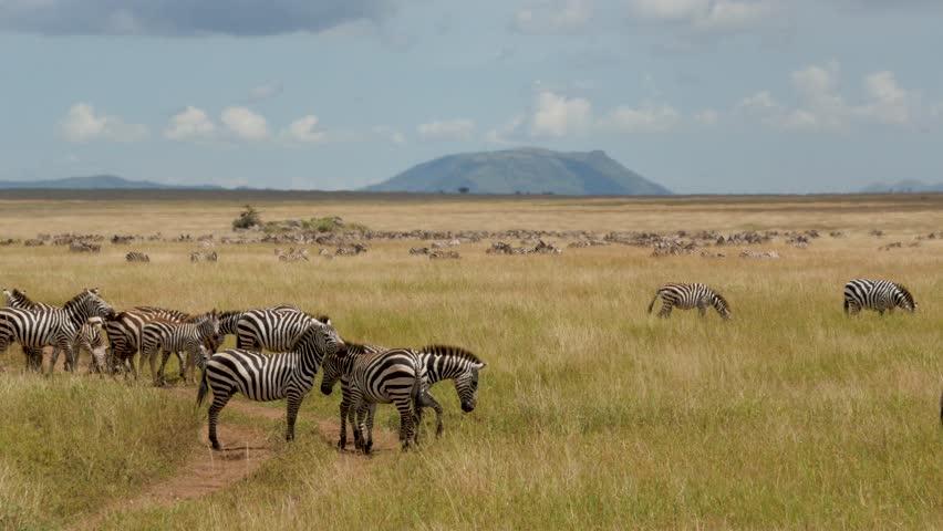 Zebras herd on savanna in Serengeti national park Tanzania