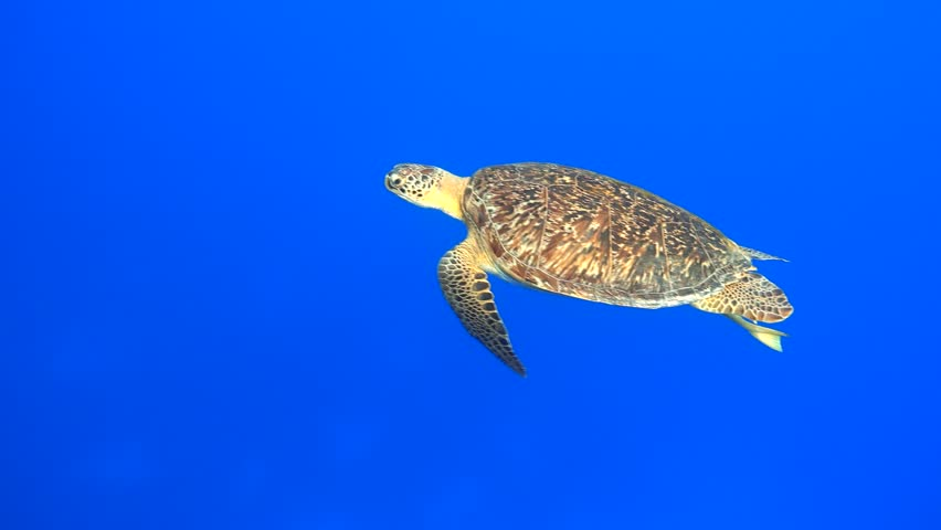 Green sea turtle smoothly swimming in the blue sea, 4K 2160p video footage