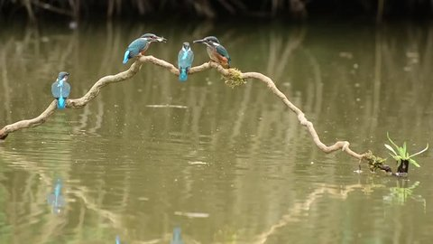 Kingfisher in the park