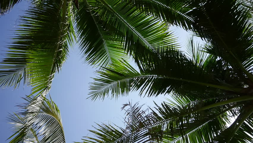 Coconut palm trees and sky behind leaves of palm tree in Thailand Island