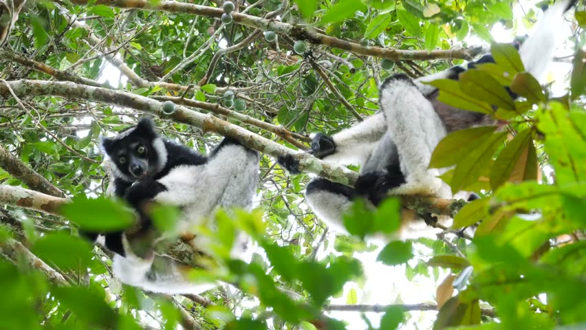 indris sitting in tree, eating wild fruits