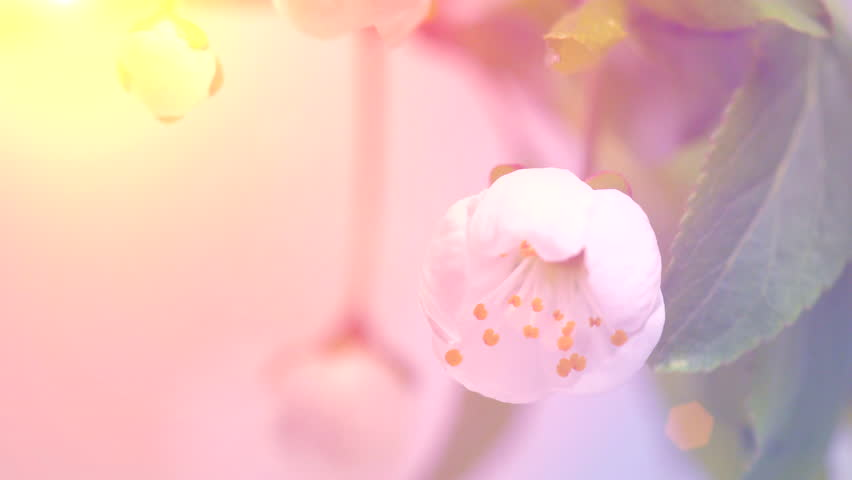 Beautiful Spring Cherry tree flowers blossom timelapse, extreme close up. Time lapse of Easter fresh pink blossoming apricot closeup. Soft focus. 4K UHD video 3840X2160  | Shutterstock HD Video #1007589133