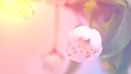 Beautiful Spring Cherry tree flowers blossom timelapse, extreme close up. Time lapse of Easter fresh pink blossoming apricot closeup. Soft focus. 4K UHD video 3840X2160
