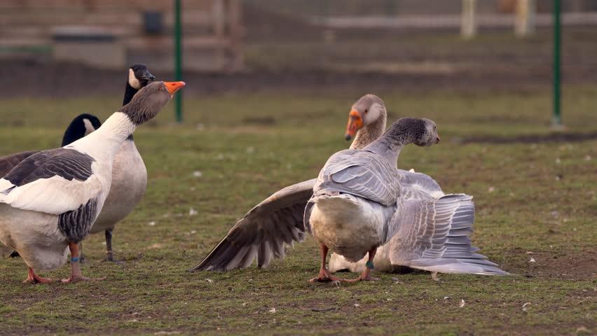 Goose raping female