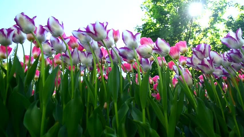 Bright tulips flowers and sunlight. Beautiful springtime footage. | Shutterstock HD Video #1007687293