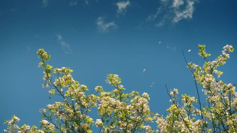 Flowering blooming blossom flowers petals blown away by wind from apple tree branches against blue sky background. Slow motion, 4k UHD