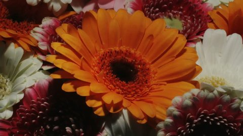 Medium close up motion time lapse shot circling around a colorful bouquet of different colored gerbera daisy flowers focusing on an orange one while blooming and dying.