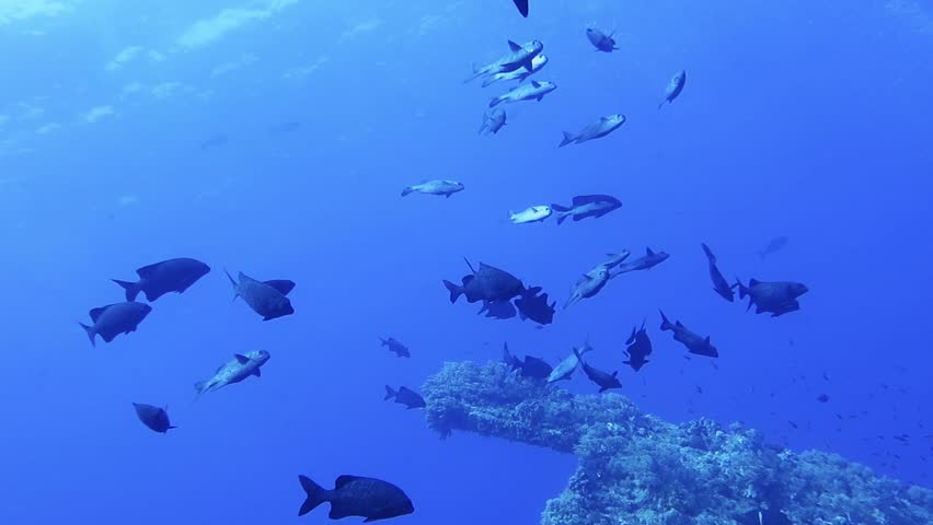 School of fish swimming underwater over the wreck in the deep blue sea. Ocean wildlife and sunken ship. Animals in the sea. Scuba diving with aquatic life.