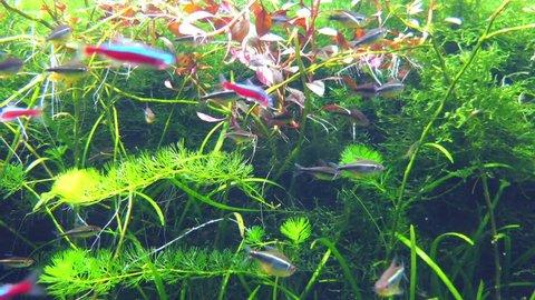 Cardinal tetra (Paracheirodon axelrodi) is freshwater fish of characin family (family Characidae) of order Characiformes.