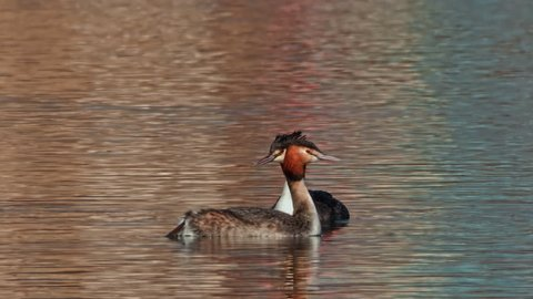 A breeding pair of water bird species Great crested grebe (Podiceps cristatus).