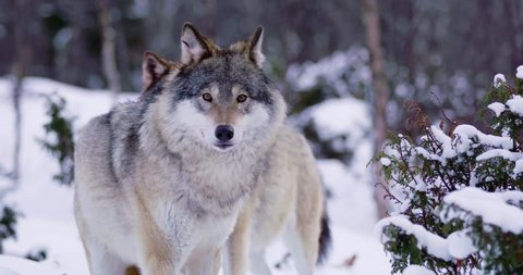 Close-up of three large wolves walking in thick forest a cold winter evening