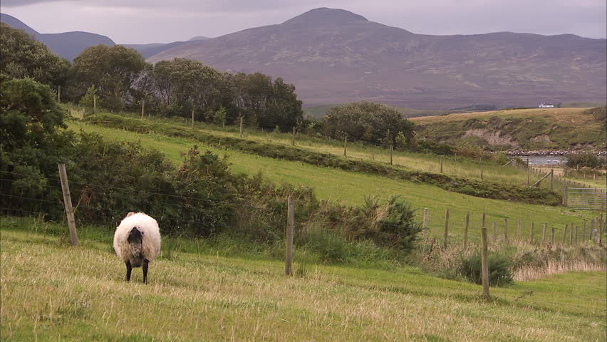 A pan to left shot of a sheep on a green hill. | Shutterstock HD Video #1007915263