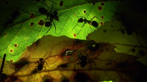 Ants colony on an artificially illuminated leaf
