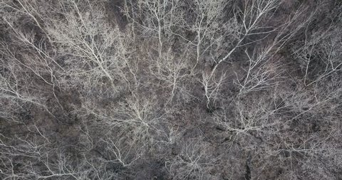 aerial view birch forest without foliage. Aerial landscape bare trees without foliage in autumn forest on eve winter season.