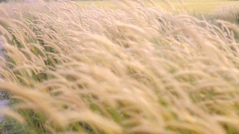 slow motion of Cogon grass of lalang flower blow by the wind