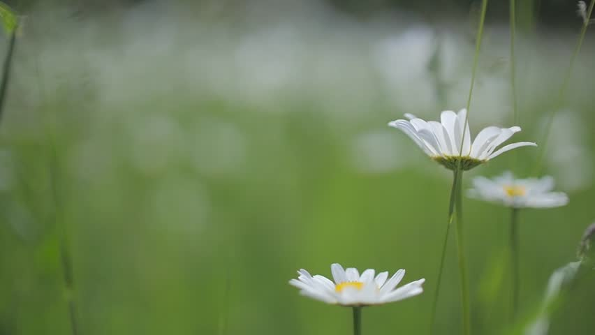 chamomile in slow motion moving camera
