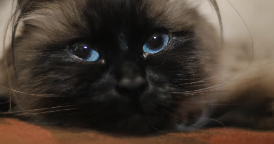 Curious ragdoll cat with striking bright blue eyes in extreme close up