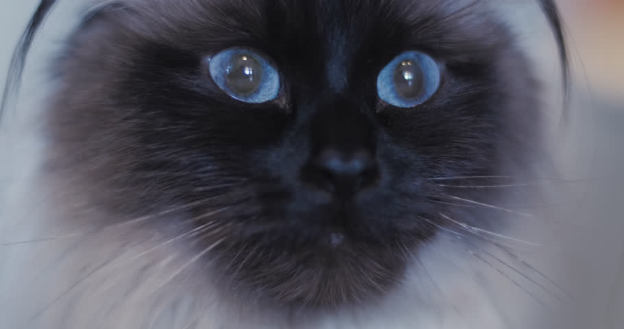 Close up shot of light brown ragdoll cat with blue eyes