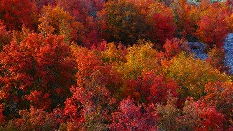 Maple forest in autumn, Eureka, Juab County, Utah, Usa, North America, America